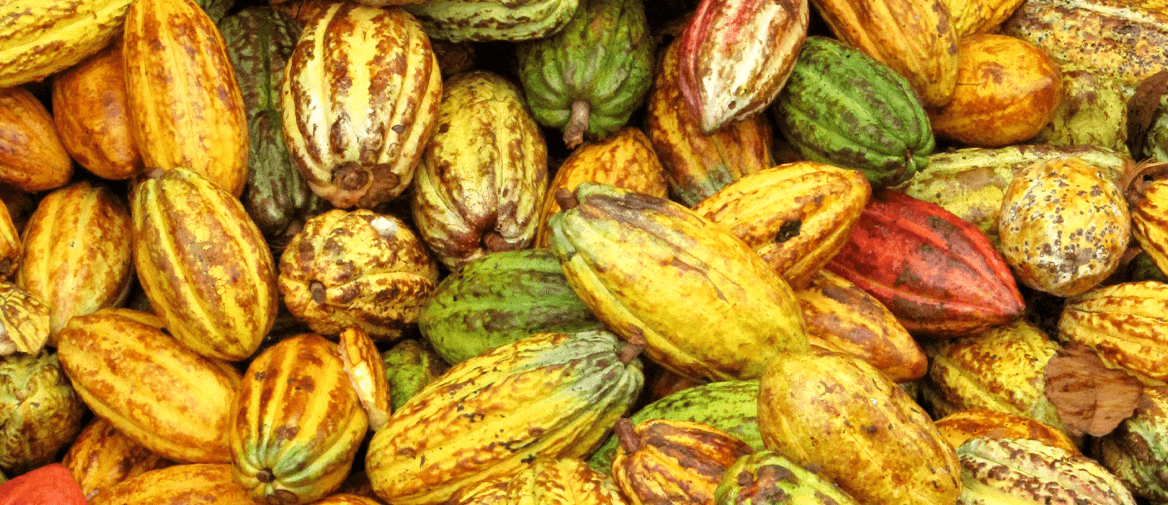 Cacaovruchten na de pluk